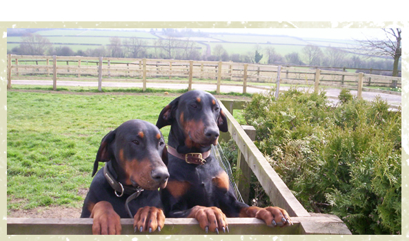 Boarding Kennels - Milton Keynes, Buckinghamshire - Villiers Farm Kennels & Cattery - two black dogs<br />