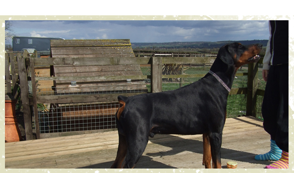 Dog Boarding - Milton Keynes, Buckinghamshire - Villiers Farm Kennels & Cattery - healthy dog<br />