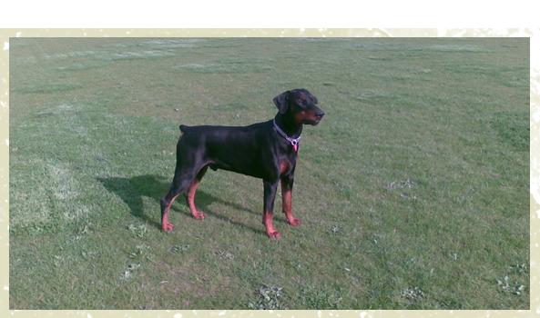 Dog Kennels - Milton Keynes, Buckinghamshire - Villiers Farm Kennels & Cattery - training black dog<br />